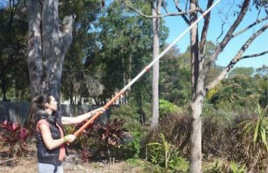 PRUNE PALM TREES?FORESTER POLE SAW: