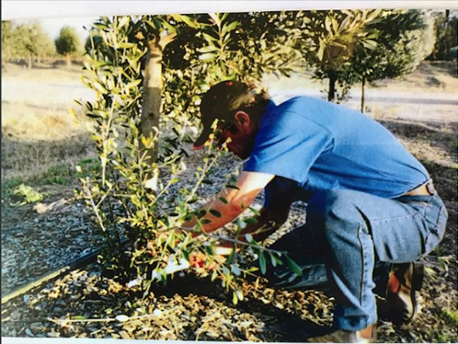 A man pruning an olive tree